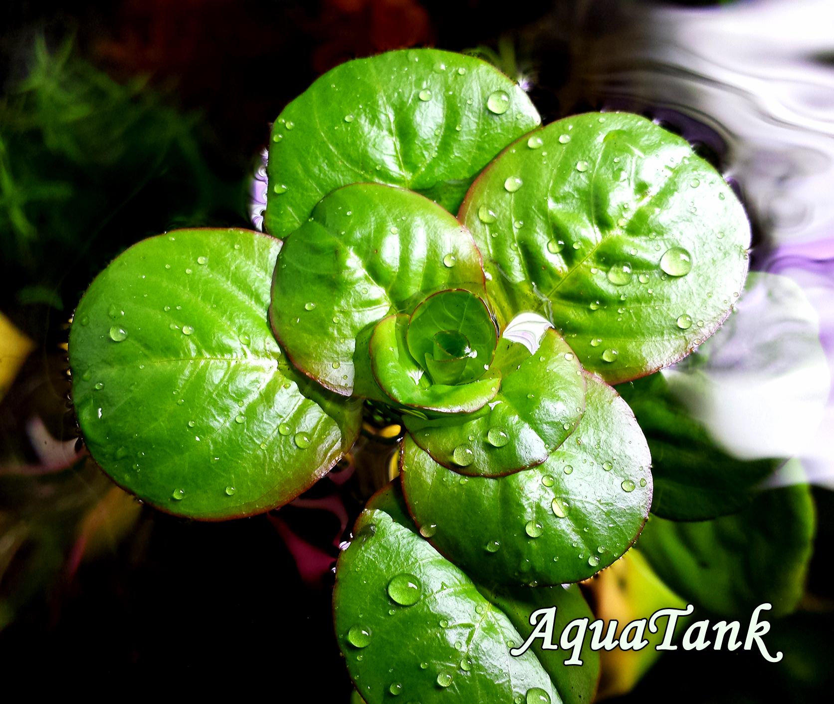 Ludwigia helminthorrhiza Akvárium Növény Ludwigia Inclinata fénykép