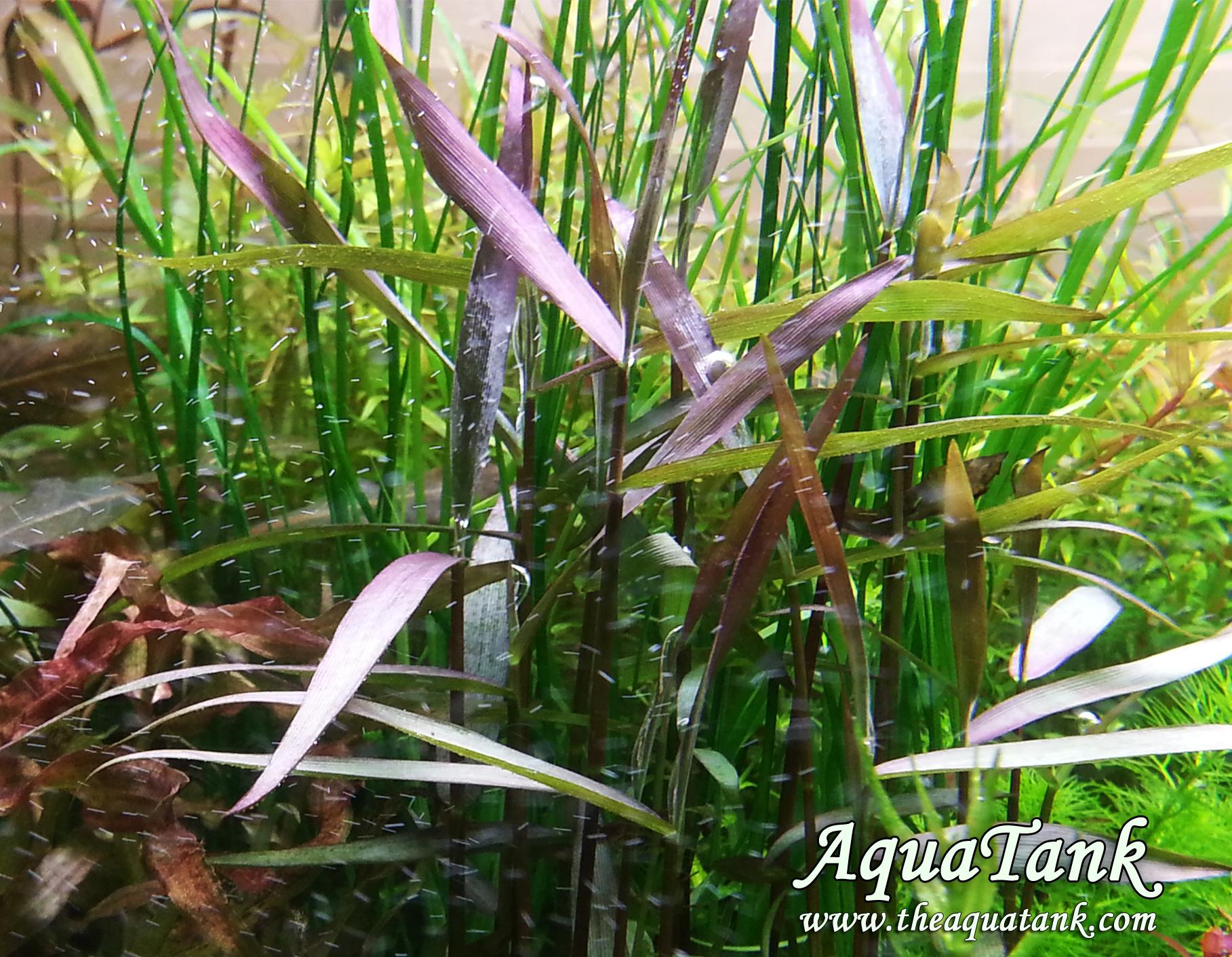 Poaceae Sp Purple Bamboo Aquarium Plant Aquatank Rare