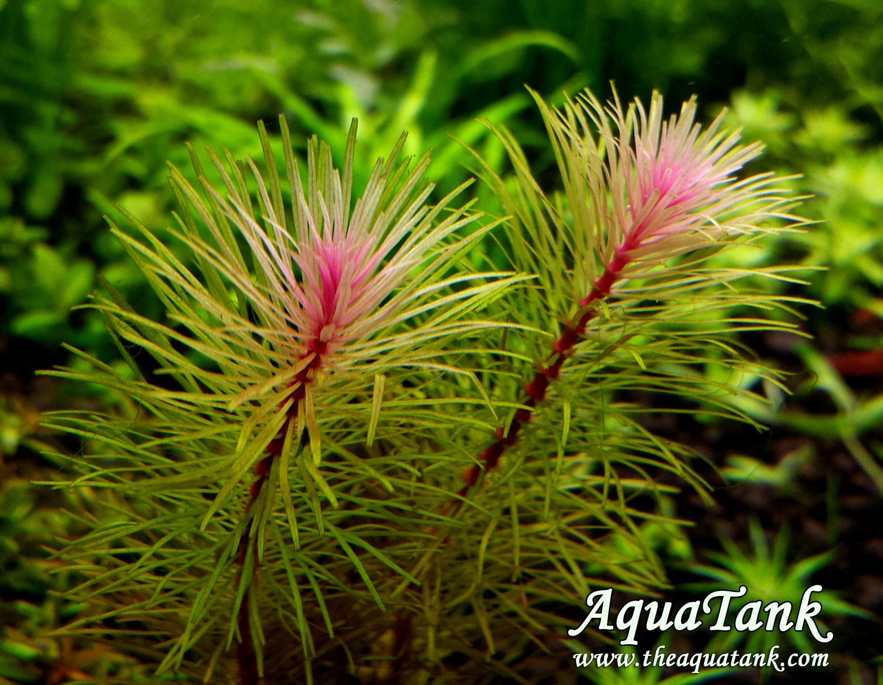Rotala Vietnam aquarium plant AquaTank Rare Aquarium Plants