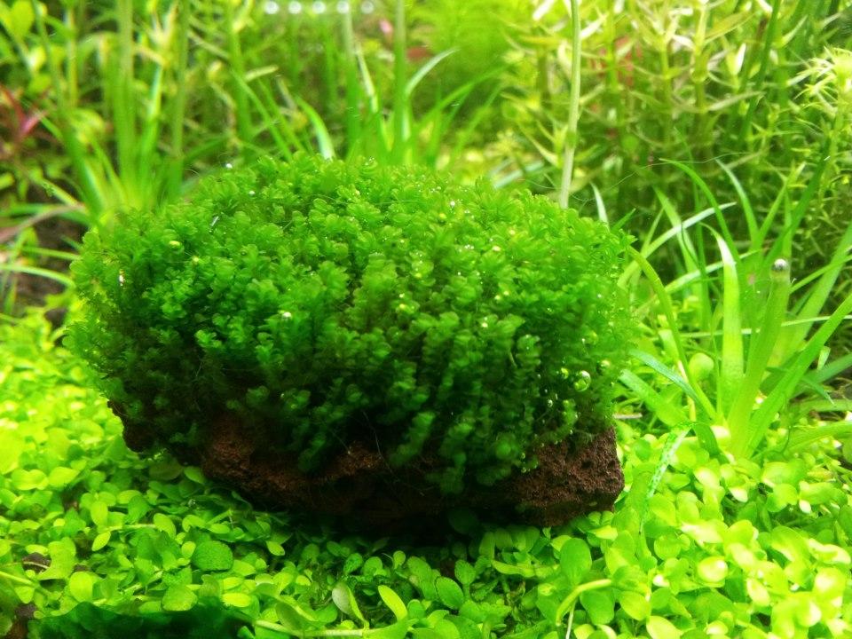 solenostoma tetragonum aquarium plant aquatank rare