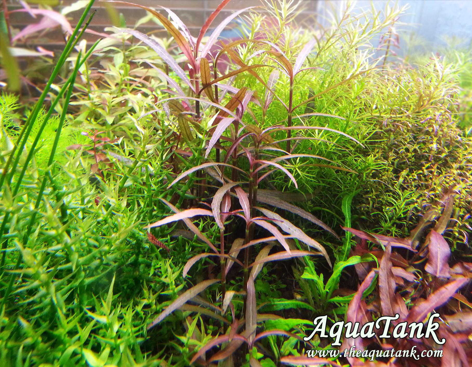 hygrophila lancea aquarium plant aquatank rare aquarium