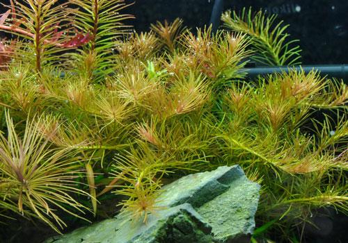 Rotala sp. Nanjenshan aquarium plant | AquaTank Rare ...