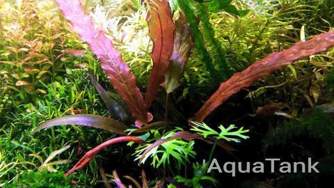 Barclaya Longifolia Red