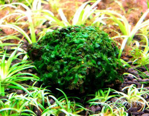 Bolbitis Gametophyte