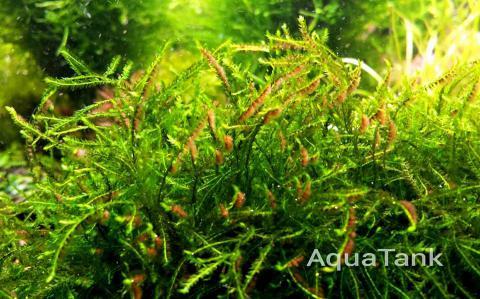 Canastra moss