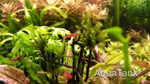Climacium Japonicum