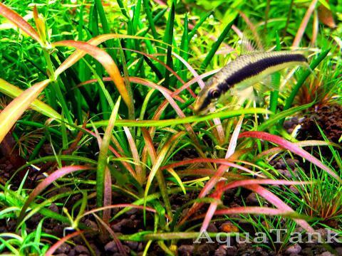 Echinodorus tenellus