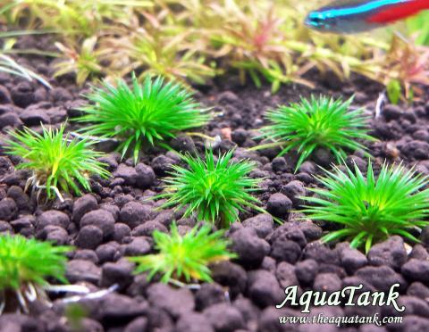 Eriocaulon Ratonagiriuni seeds