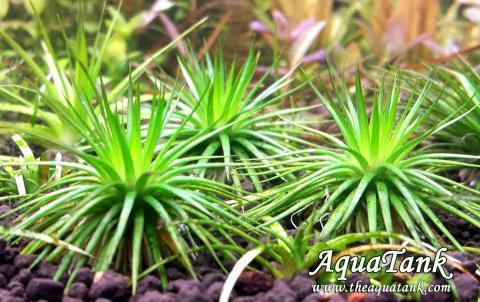Eriocaulon sp. Polaris