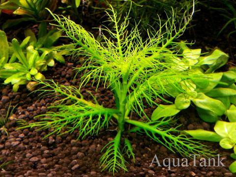 Hygrophila balsamica