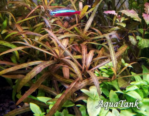 Hygrophila sp. Tiger