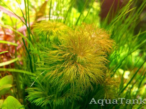 Limnophila Brown