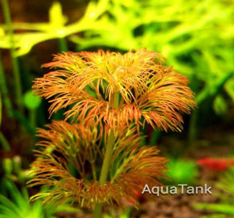Limnophila Sessiliflora Orange