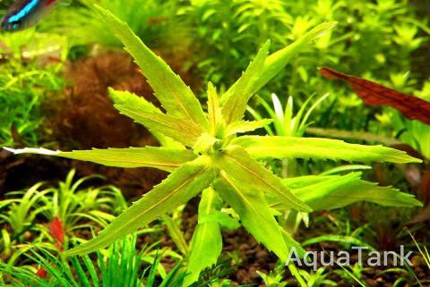 Limnophila sp. Laos