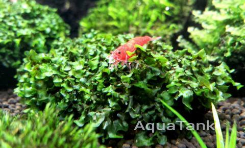 Loxogramme sp. Wave Moss