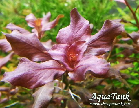 Ludwigia ovalis Pink