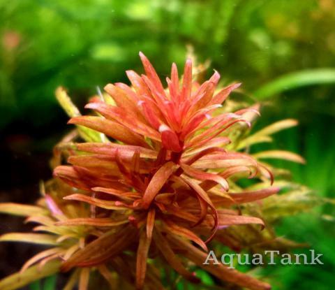 Ludwigia Pantanal