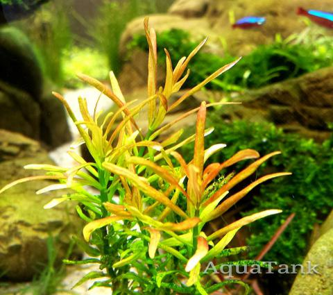 Rotala Araguaia Red Cross