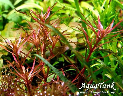 Rotala Mexicana Red