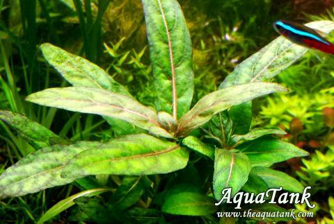 Staurogyne Low Grow