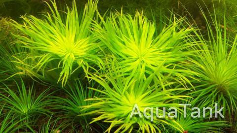 Syngonanthus sp. Rio Negro