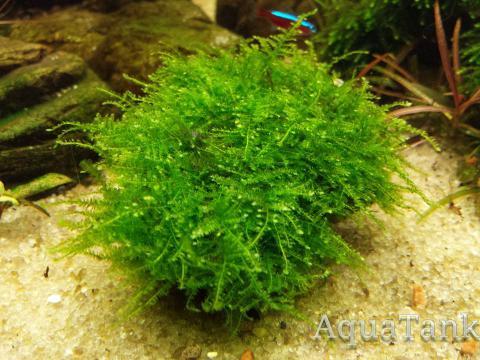Vesicularia sp. Mini Christmas moss