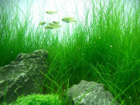 Eleocharis Acicularis, hairgrass