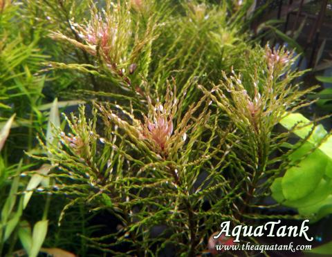 Ludwigia Curly sp Tornado