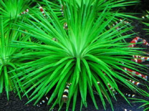Eriocaulon sp. Amami seeds