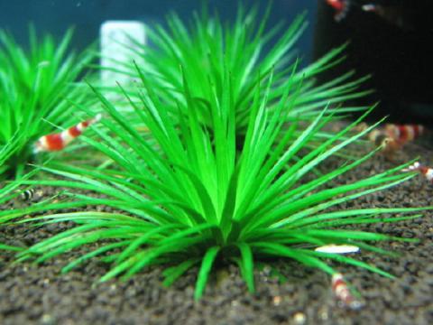 Eriocaulon sp. Hainan Island seeds