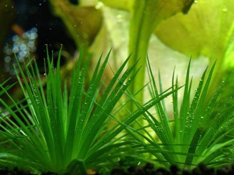 Eriocaulon sp. Kyoto Kurohoshikusa seeds