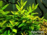 Ammannia Multiflora