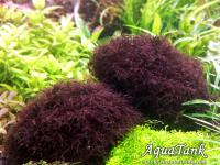 "Caloglossa ср. beccarii Red moss      Price: negotiated      Malaxis metallica  Price: negotiated    Bucephalandra sp. Brunei  Price: negotiated     Bolbitis sp. Jawa  Price: negotiated    Bolbitis sp. ""Dwarf""  Price: negotiated   Echinodorus sp. ""Saturn 2006"" Termas del Arapey Uruguay  Price: negotiated    Najas sp. Roraima  Price: $6.06     Araceae sp. Halmahera  Price: negotiated    Scrophulariaceae sp. Vietnam  Price: negotiated     Bucephalandra sp. ""Perfect Ghost"" (Супер!) Дорого! Price: negotiated      Bolbitis sp."