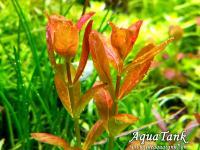 Cuphea Analagoidea