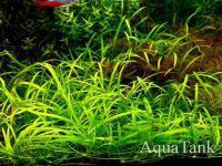 Echinodorus tenellus green