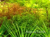 Elatine orientalis