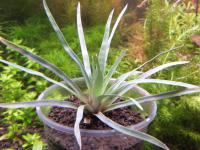 Eriocaulon Pineapple from Kamihata