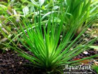 Eriocaulon sp. Amanomanium. Kirichima