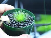 Eriocaulon From Phu Yen River. Vietnam seeds