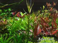 Gratiola brevifolia