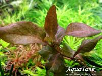 Hygrophila Brown