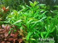 Limnophila sp Punctata Blume