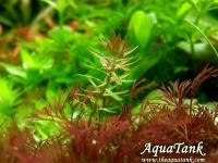 Mayaca sp. Paraguay Red