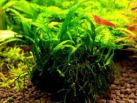 Microsorum mini needle leaves