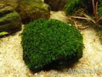 Moss foliose liverwort Bodok