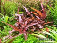 Persicaria Praetermissa / Ruby