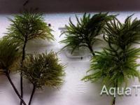 Pleuroziopsis ruthenica & Climacium japonicum