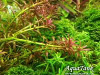 Rotala sp. 'Goias'