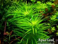 Syngonanthus Madeira