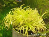 Syngonanthus sp. Rio Uaupes